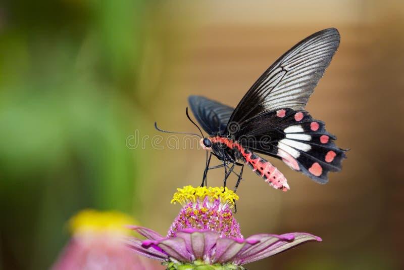 Wizerunek błonie Różany motyl na natury tle insekt obraz stock