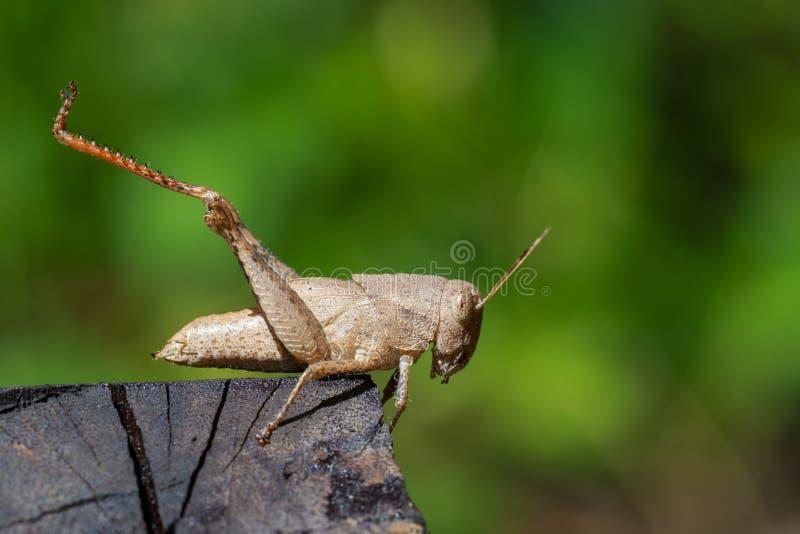 Wizerunek brown pasikonik na szalunku insekt zdjęcie stock