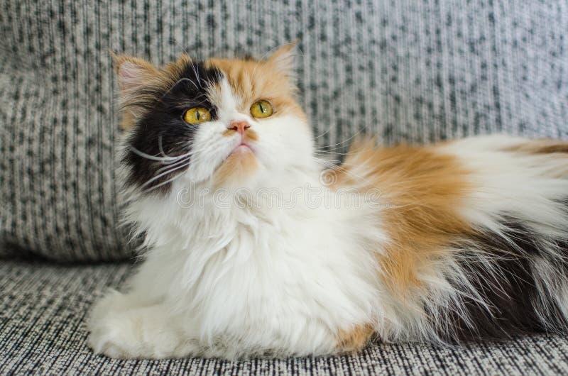 Wizerunek cGucci imienia kota persa tło obrazy stock