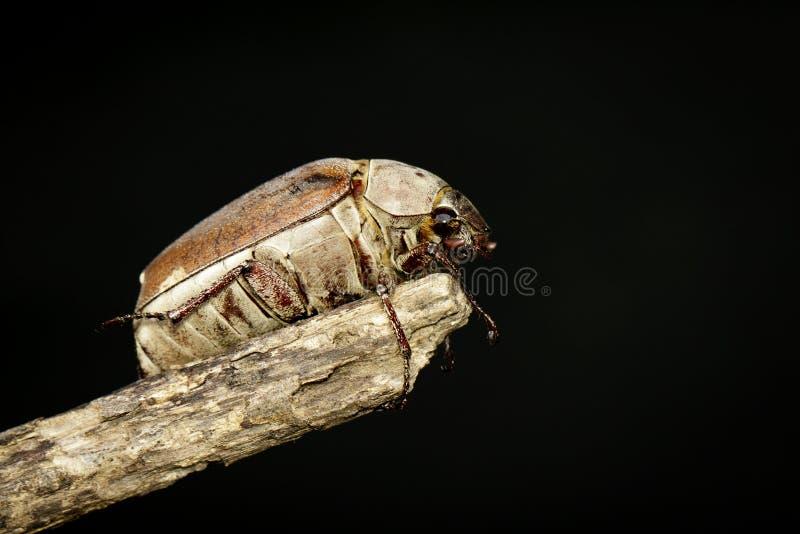 Wizerunek chrząszcza Melolontha melolontha na gałąź na czarnym tle insekt zwierz?ta zdjęcie royalty free