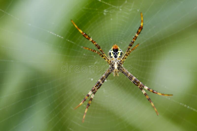 Wizerunek coloured argiope pająk fotografia royalty free
