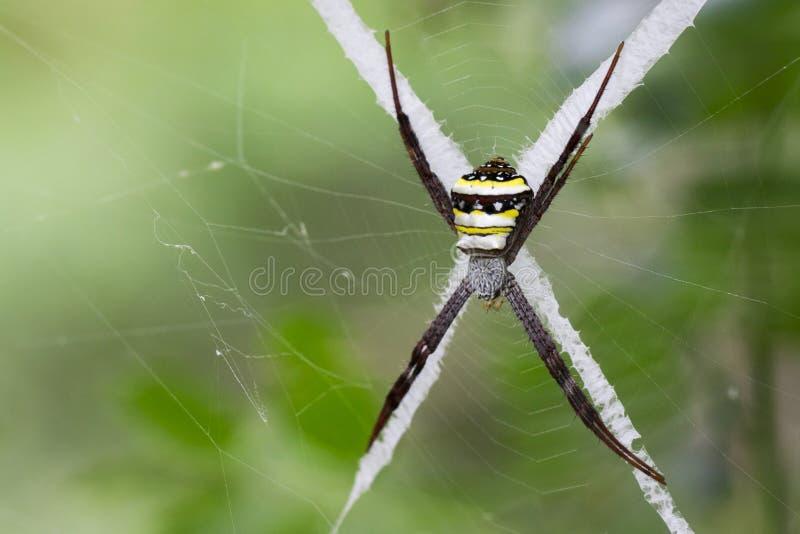 Wizerunek coloured argiope pająk zdjęcia royalty free