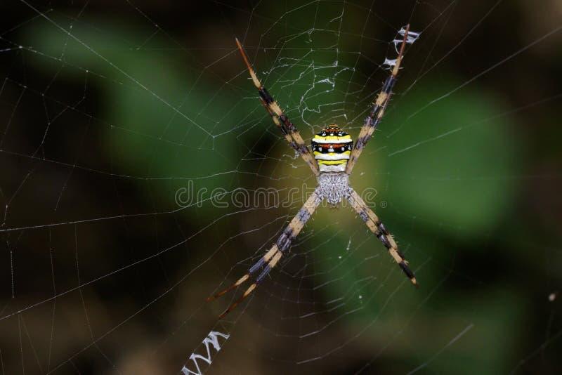 Wizerunek coloured argiope pająk obrazy royalty free