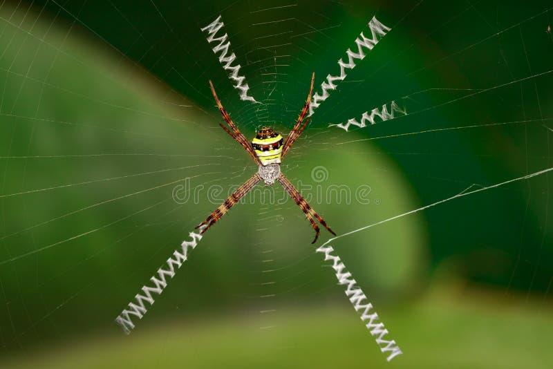 Wizerunek coloured argiope pająka Argiope pulchellla obraz stock