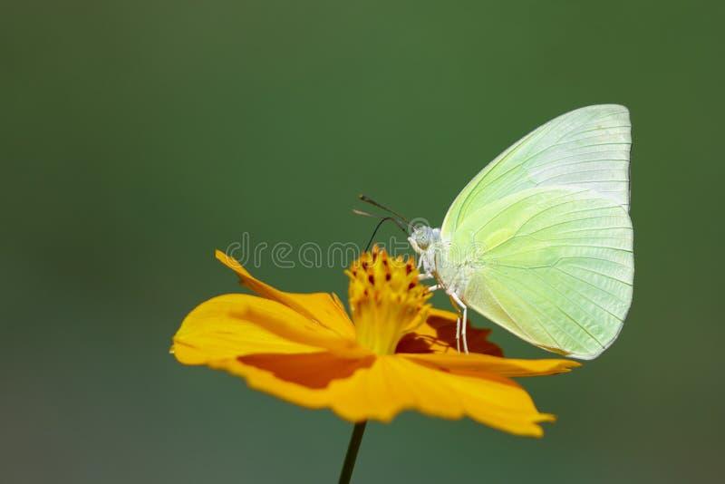 Wizerunek cytryna emigrancki motyli Catopsilia Pomona ssa nektar od kwiatów na naturalnym tle insekty zwierz?ta obraz royalty free