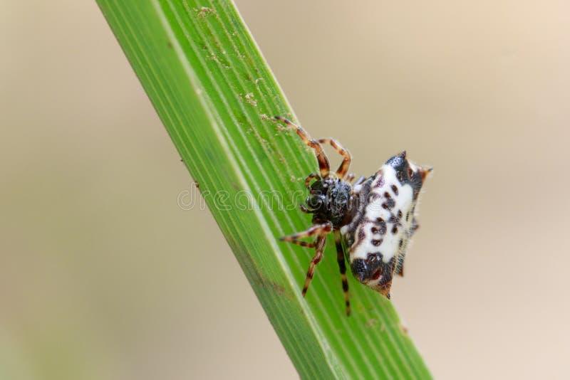 Wizerunek czarno biały Sspiny Spidergasteracantha kuhlii obraz stock