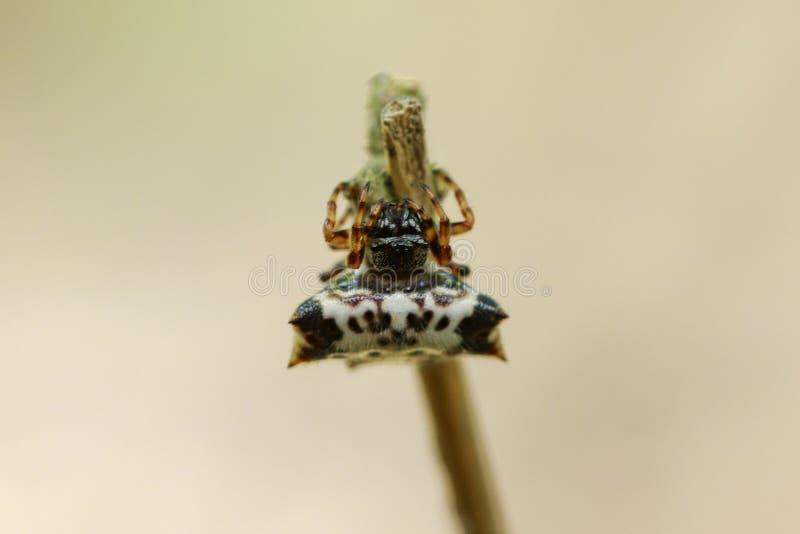 Wizerunek czarno biały Sspiny Spidergasteracantha kuhlii zdjęcie royalty free