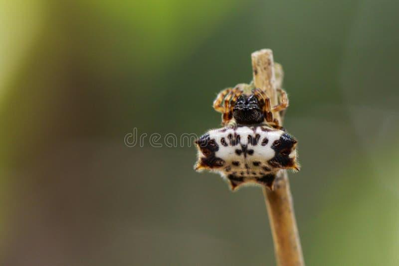 Wizerunek czarno biały Sspiny Spidergasteracantha kuhlii zdjęcia stock