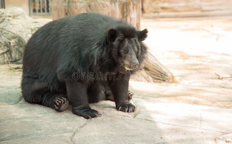 Wizerunek czarny niedźwiedź obrazy royalty free