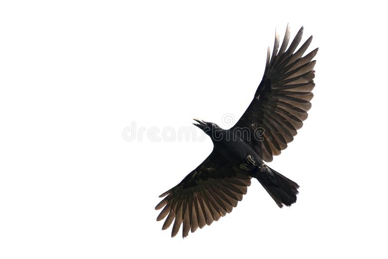 Wizerunek czerni wrony latanie na białym tle zdjęcie royalty free