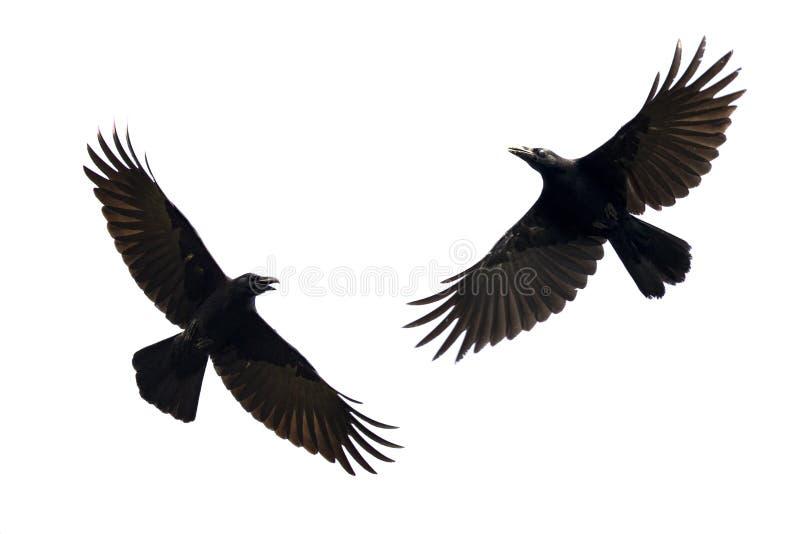 Wizerunek czerni wrony latanie na białym tle zwierzę zdjęcia stock
