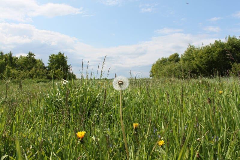 Wizerunek dandelion kwiat w przedpolu przeciw soczystemu zieleni pola tłu z trawą, drzewa i niebieskie niebo z clou fotografia royalty free