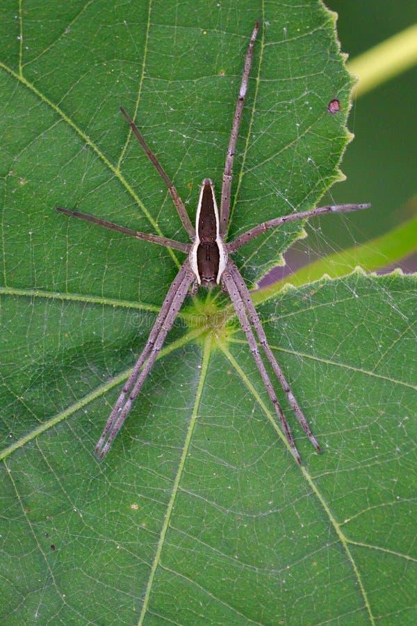 Wizerunek Dostrzegający pepiniery sieci pająk Dolomedes Triton na a zdjęcia stock