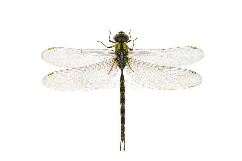 Wizerunek dragonfly na bia?ym tle Przejrzysty skrzyd?o insekt insekt zwierz? fotografia royalty free