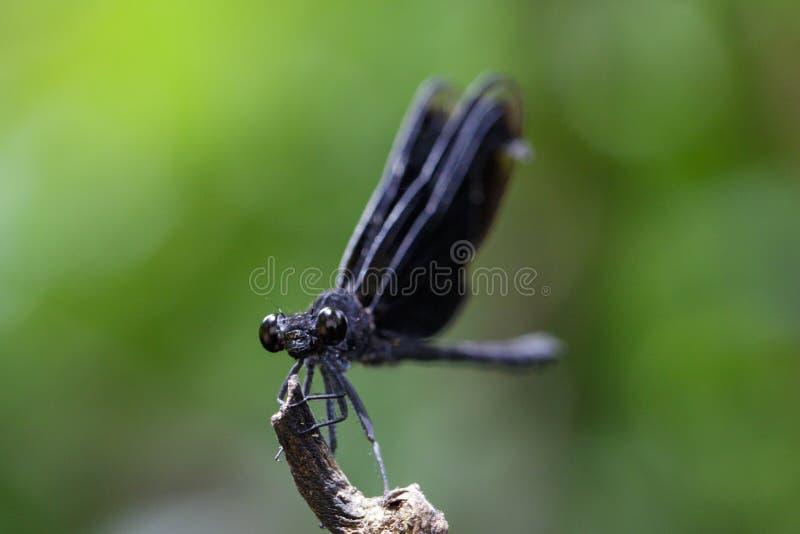 Wizerunek Euphaea Masoni Dragonfly na suchych gałąź obraz royalty free
