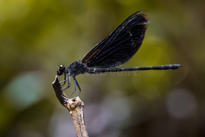 Wizerunek Euphaea Masoni Dragonfly na suchych gałąź zdjęcie stock