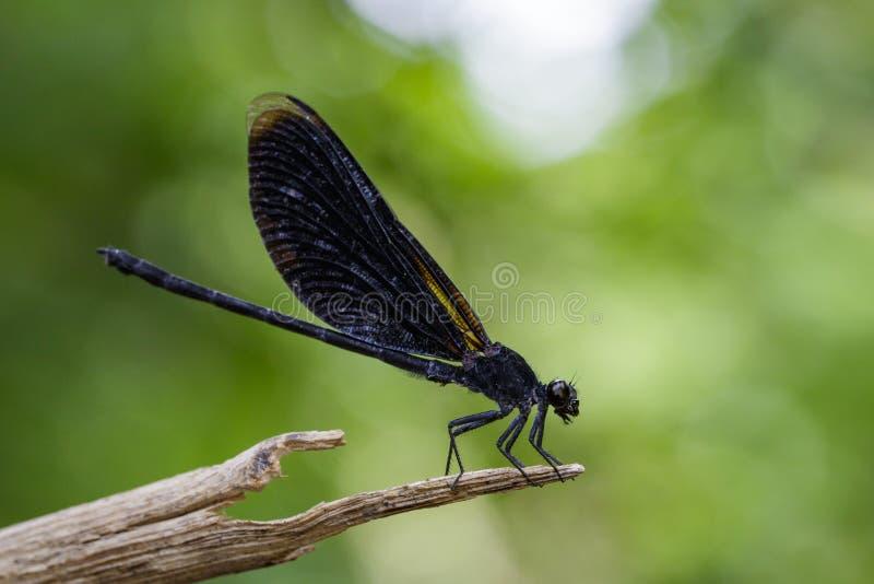 Wizerunek Euphaea Masoni Dragonfly na suchych gałąź obrazy royalty free