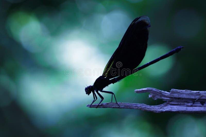 Wizerunek Euphaea Masoni Dragonfly na suchych gałąź zdjęcia royalty free
