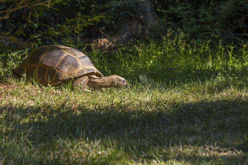 Wizerunek gigantyczny tortoise podczas gdy jedzący niektóre trawy zdjęcia stock