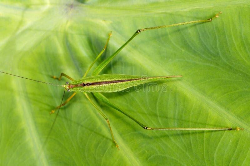 Wizerunek grasshopperon na zielonych liściach obrazy royalty free