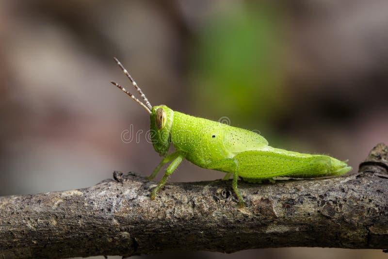 Wizerunek Jaskrawy - zielony pasikonik na gałąź insekt zdjęcia stock