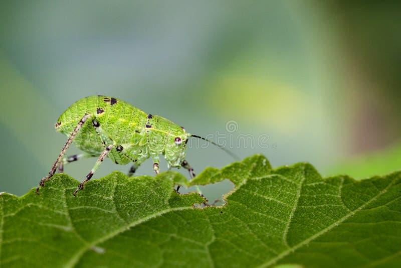 Wizerunek Katydid boginki pasikoniki & x28; Tettigoniidae& x29; zdjęcie stock