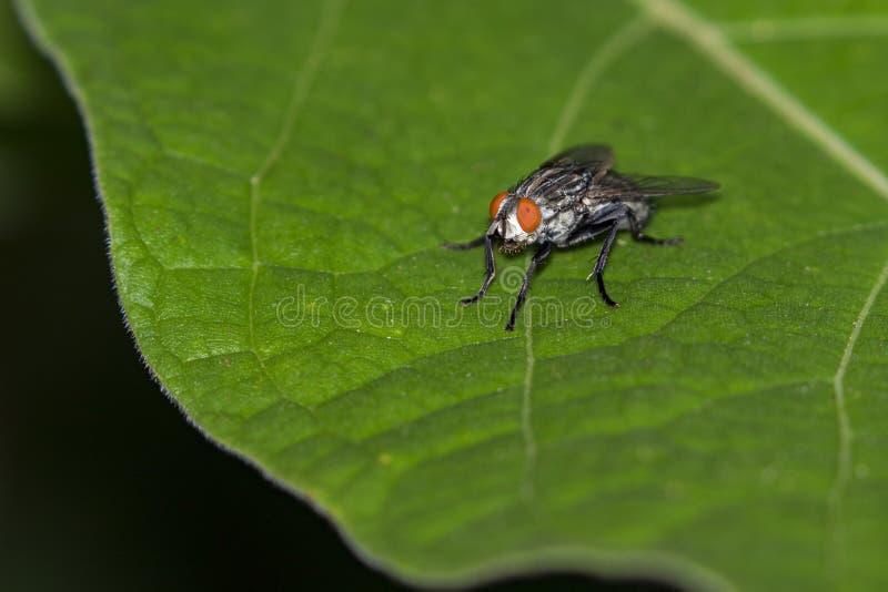 Wizerunek komarnica dwuskrzydłe na zielonych liściach insekt zdjęcia royalty free