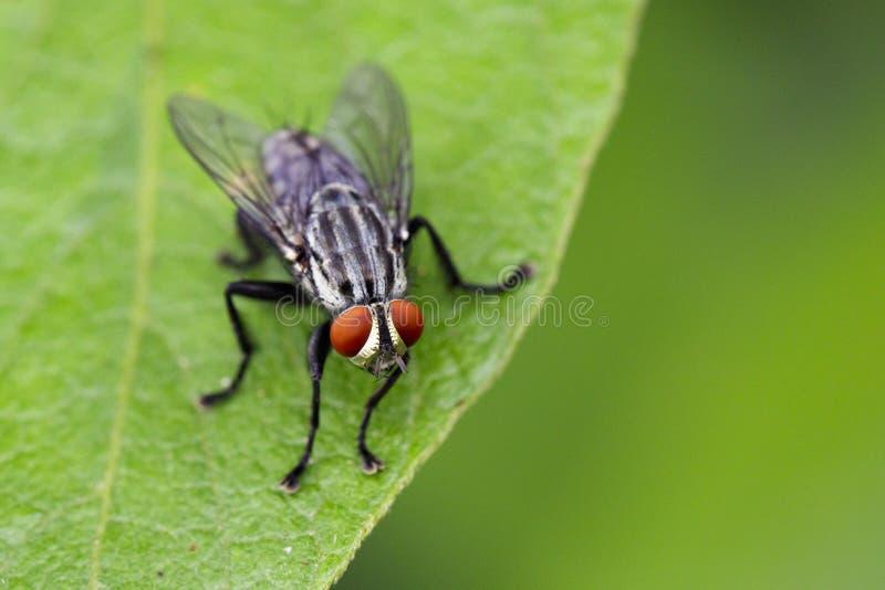 Wizerunek komarnicy & x28; Diptera& x29; na zielonych liściach insekt fotografia stock