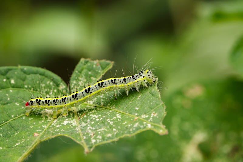 Wizerunek Kosmaty gąsienicowy Eupterote testacea zdjęcie royalty free