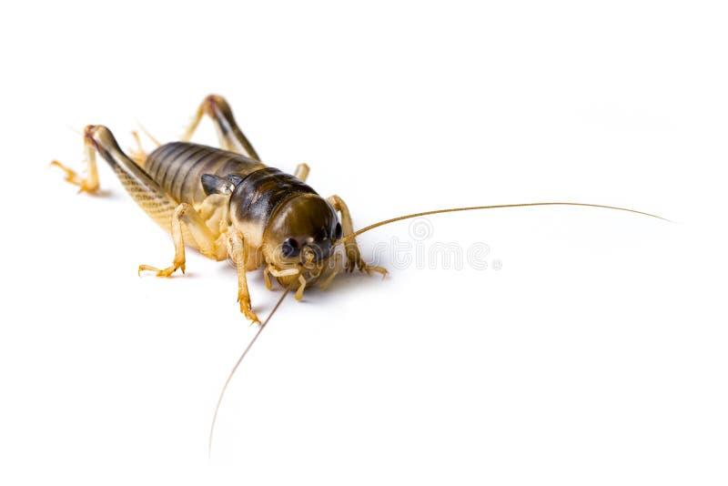 Wizerunek krykiet na białym tle , insekty zdjęcie royalty free
