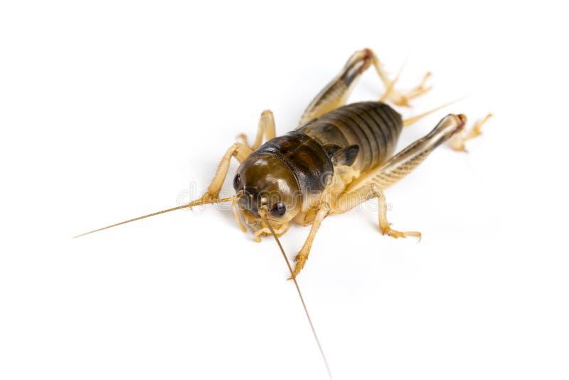 Wizerunek krykiet na białym tle , insekty fotografia royalty free