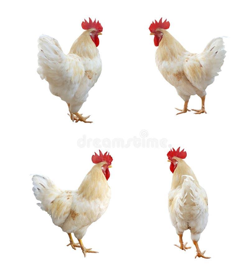 Wizerunek kurczak fotografia stock
