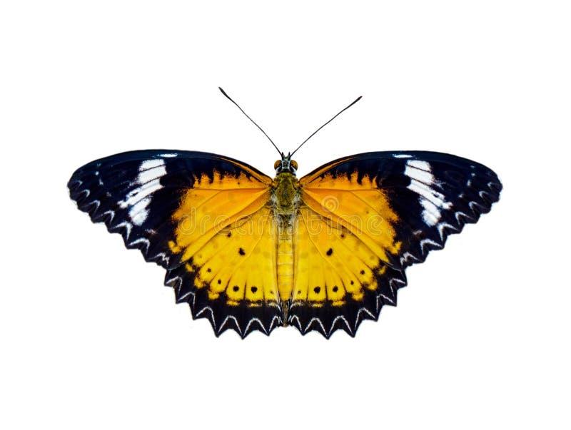 Wizerunek lampartów lacewings Cethosia cyane motyli euanthes odizolowywający na białym tle insekt zwierz?ta fotografia royalty free
