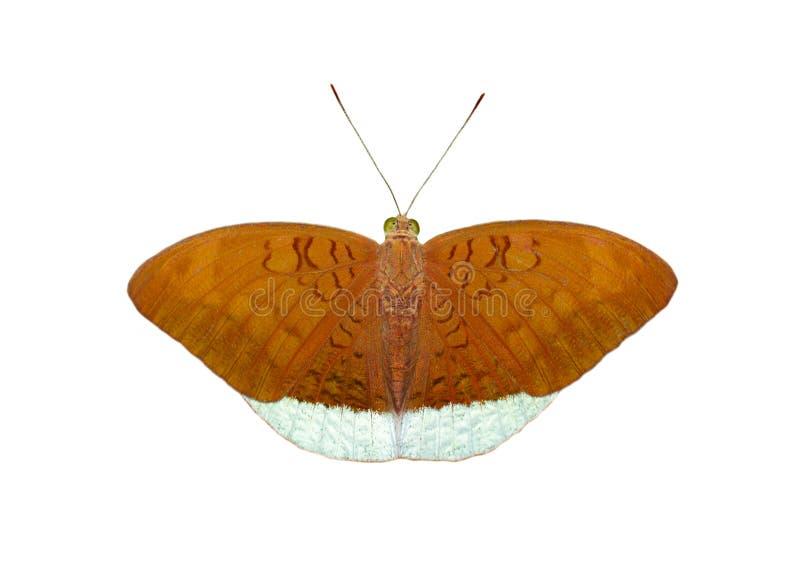 Wizerunek męski pospolity książe butterfliesTanaecia julii odilina odizolowywający na białym tle insekt zwierz?ta obraz royalty free