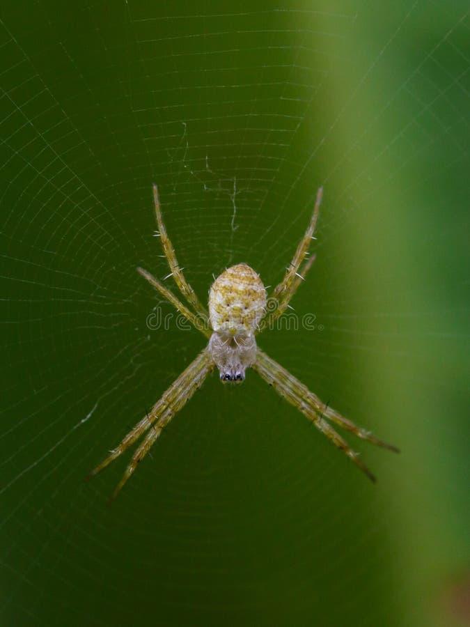 Wizerunek Mały coloured argiope pająk fotografia royalty free