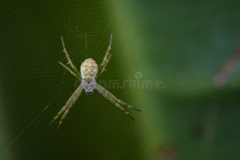 Wizerunek Mały coloured argiope pająk zdjęcie royalty free