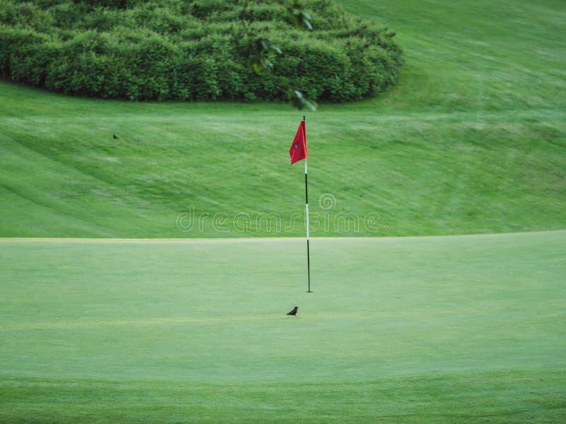 Wizerunek mały czarny ptak na pola golfowego obsiadaniu obok czerwonej flagi zdjęcia stock