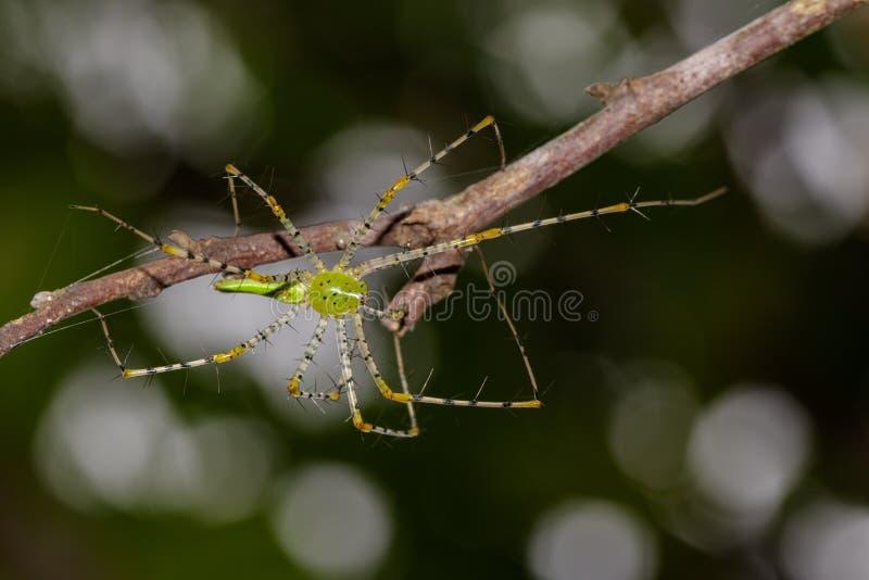 Wizerunek malgasz zieleni rysia pająka Peucetia madagascariensis zdjęcia royalty free