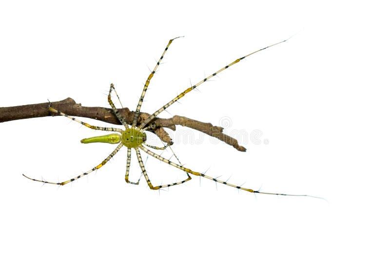 Wizerunek malgasz zieleni rysia pająka Peucetia madagascariensis zdjęcia stock