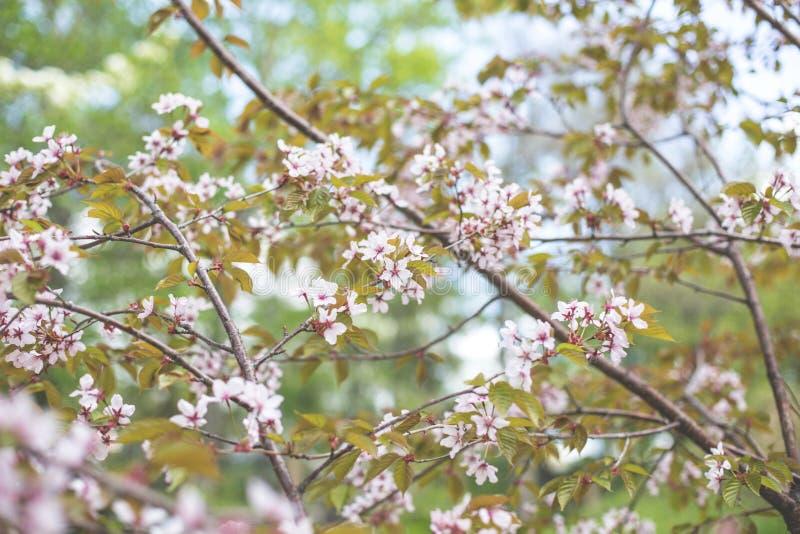 Wizerunek Miękkiej ostrości Czereśniowy okwitnięcie lub Sakura kwitnie na naturalnym tle zdjęcie royalty free