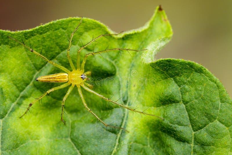 Wizerunek Oxyopidae pająk zdjęcia stock