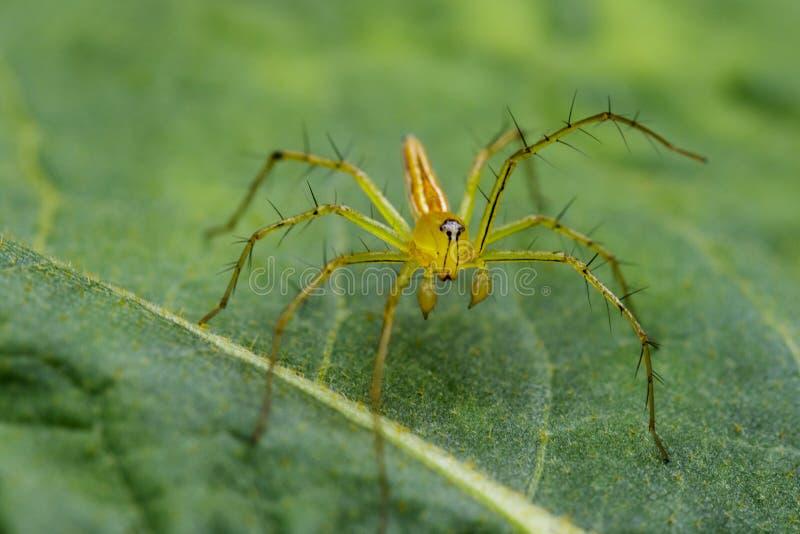 Wizerunek Oxyopidae pająk obraz royalty free
