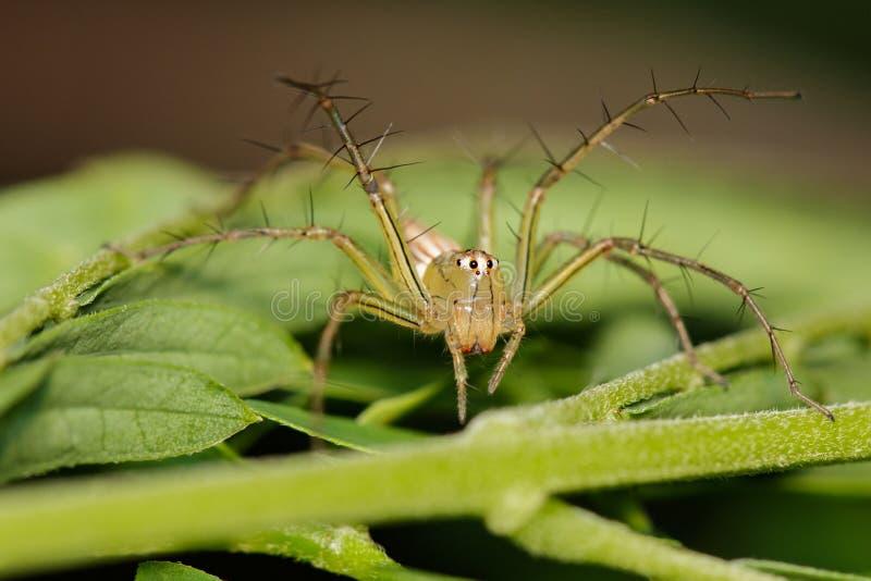Wizerunek Oxyopidae pająka Jawa rysia pająka, Oxyopes cf/ Javanu obraz stock