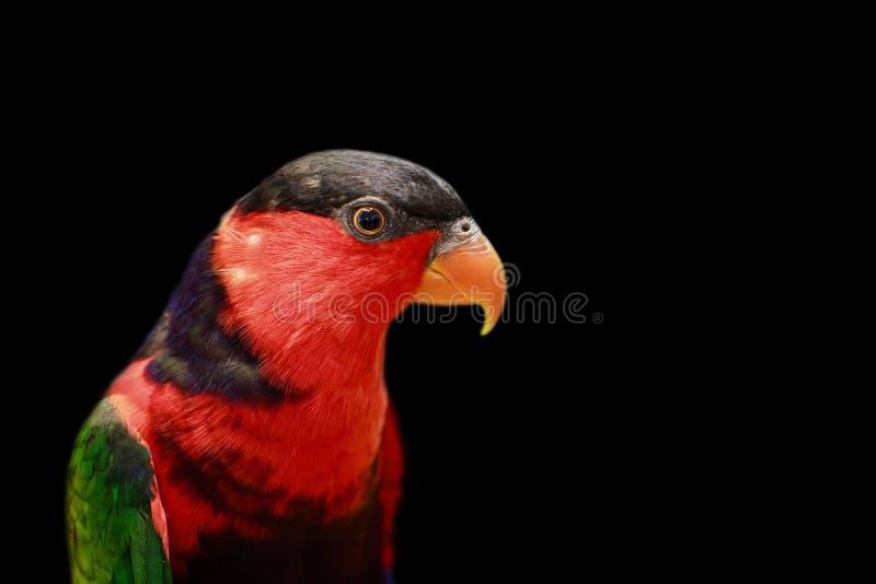 Wizerunek papuga na czarnym tle ptaki dzikich zwierz?t fotografia stock