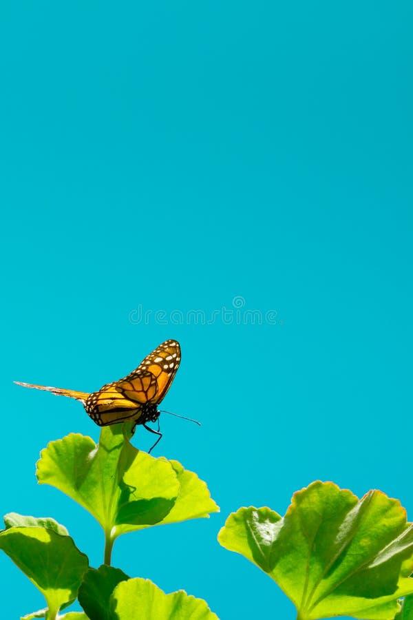 Wizerunek pomarańczowy monarchicznego motyla obsiadanie na zielonym bodziszka liściu fotografia royalty free