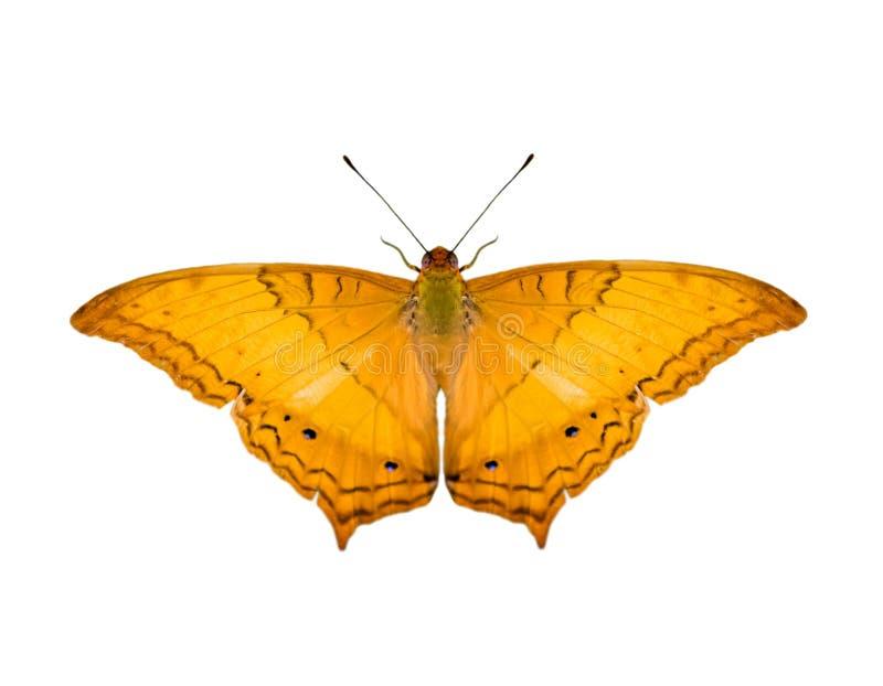 Wizerunek pospolitego krążownika Vindula erota motyli erota odizolowywający na białym tle insekt zwierz?ta obrazy royalty free