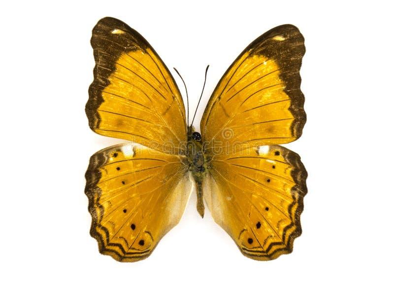 Wizerunek Pospolitego szlachciura Cirrochroa Motyli tyche fotografia royalty free