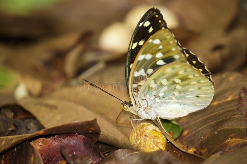 Wizerunek Pospolity Archduke Butterflyfemale obrazy stock