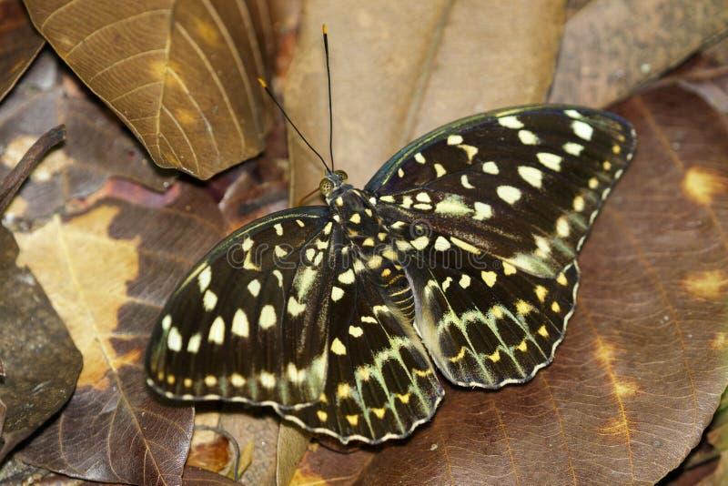 Wizerunek Pospolity Archduke Butterflyfemale obrazy royalty free