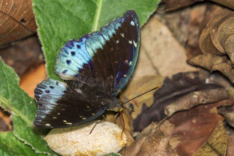 Wizerunek Pospolity Archduke Butterflymale fotografia royalty free